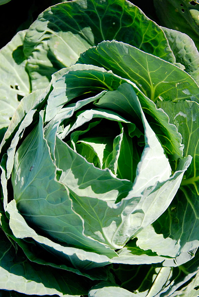 Green Cabbage Fresh Vegetable Produce and Fruit Truck Farming in Ruskin Florida Tampa Hillsborough County Gulf West Central, USA