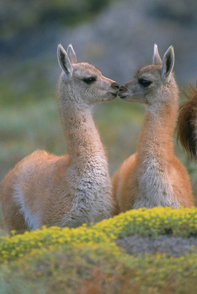 Young Guanacos (Lama guanicoe), Torres del Paine National Park, Patagonia, Chile