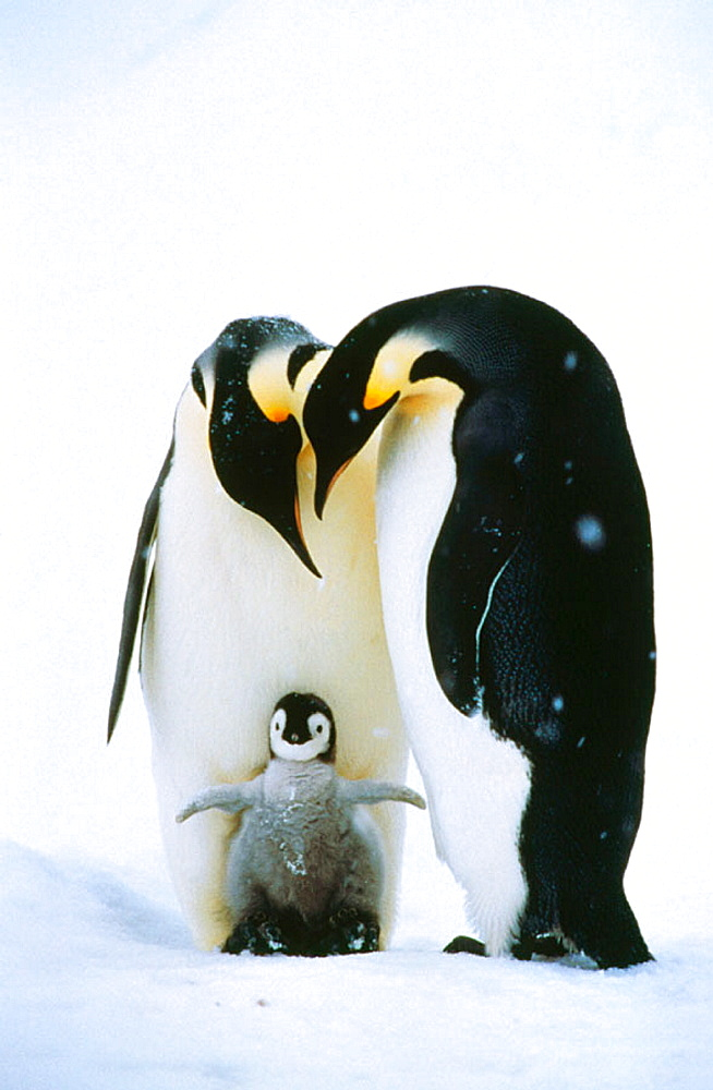 Emperor Penguins and chick (Aptenodytes forsteri), Antarctica
