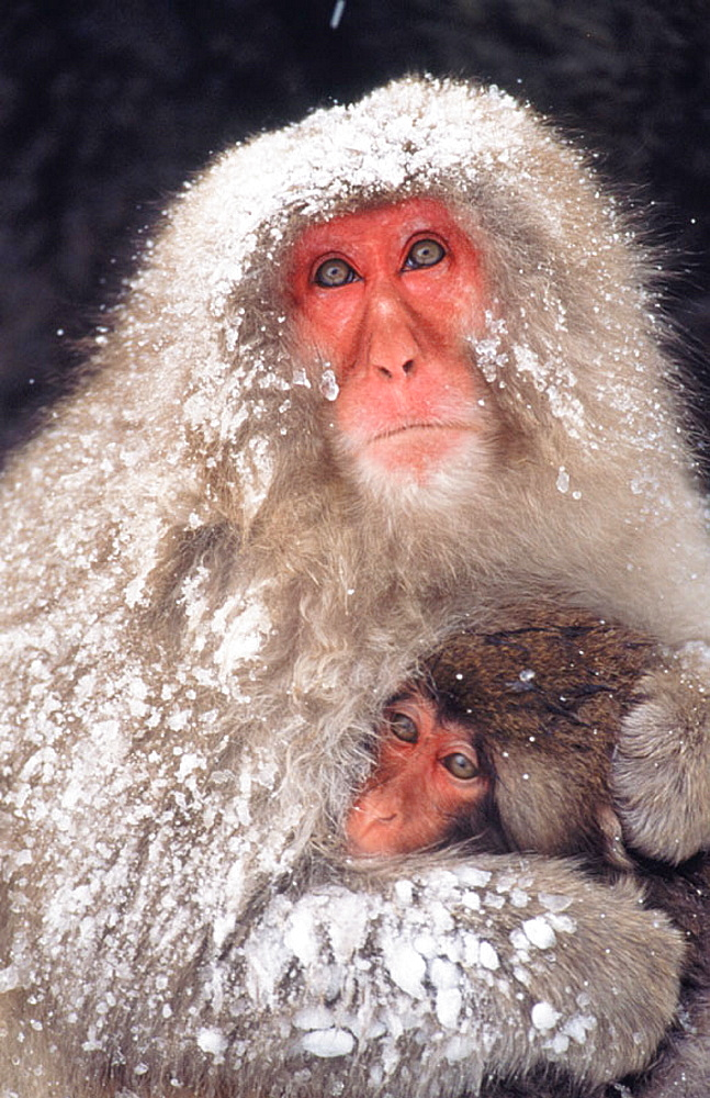 Japanese Macaque (Macaca fuscata), Japan