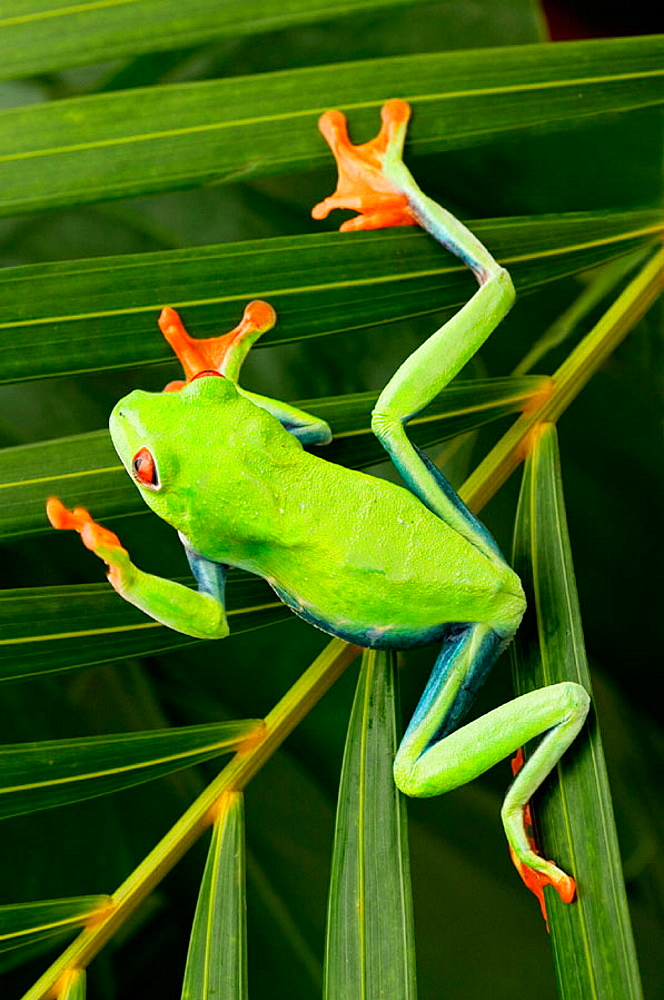 Red-eyed Treefrog (Agalychnis callidryas)