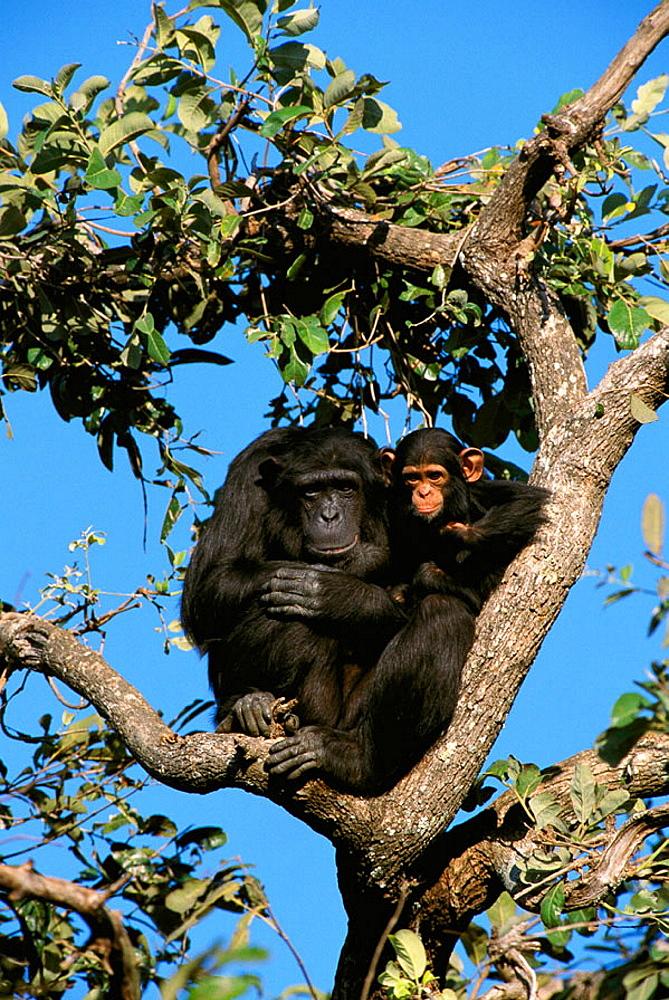 Chimpanzee (Pan troglodytes), North Zambia