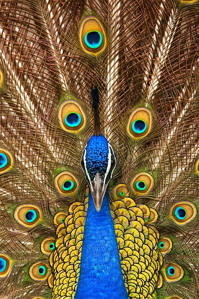 Male Peacock (Pavo cristatus) - 817-153470