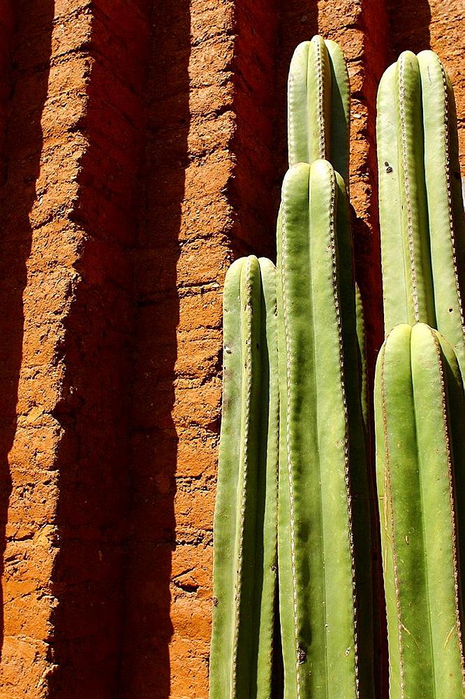 Cactus, Oaxaca, Mexico - 817-154132