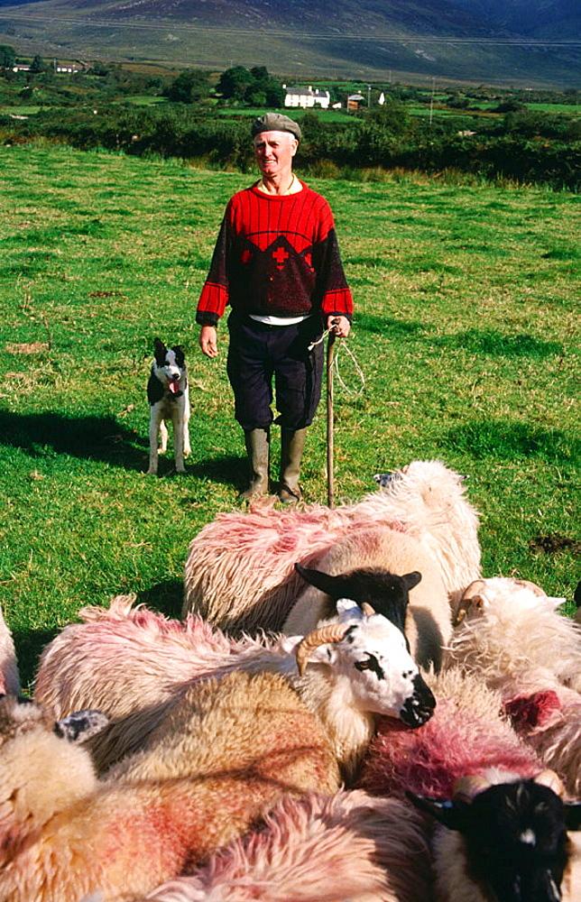 Shepherd, Dingle peninsula, Co, Kerry, Ireland