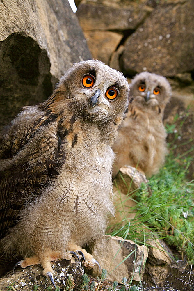 Buhos Reales, Eagle owls (Bubo bubo), Young owls after leaving nest, Northern Spain