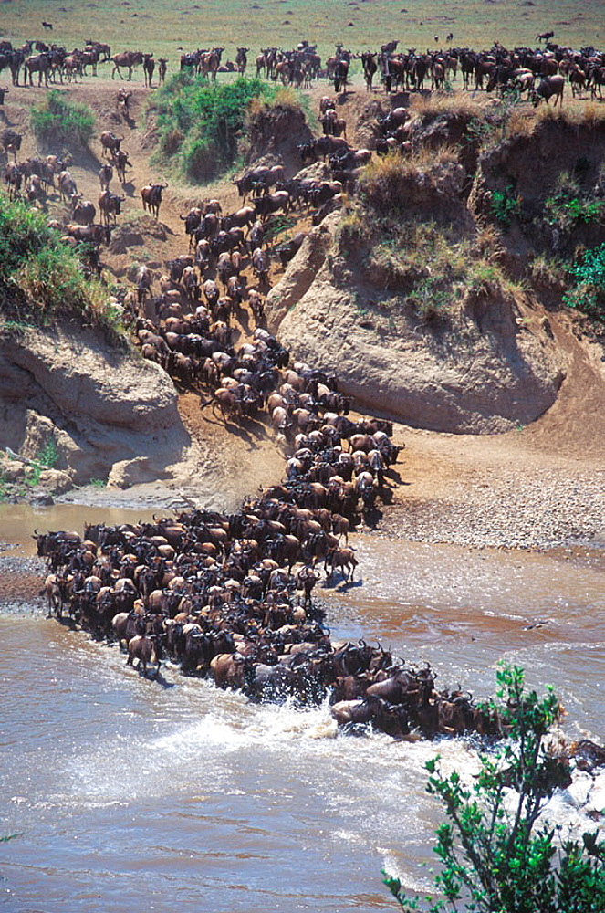 Wildebeest crossing Mara river during Migration - 817-155627