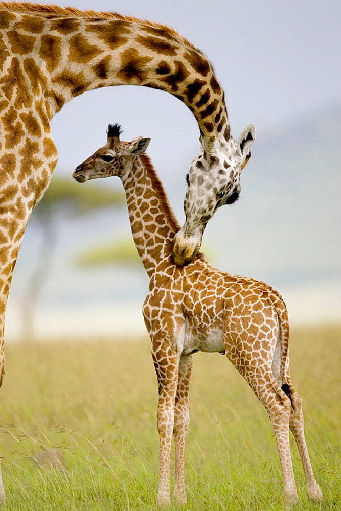 Masai Giraffe mother grooms newborn in the Masai Mara - 817-155748
