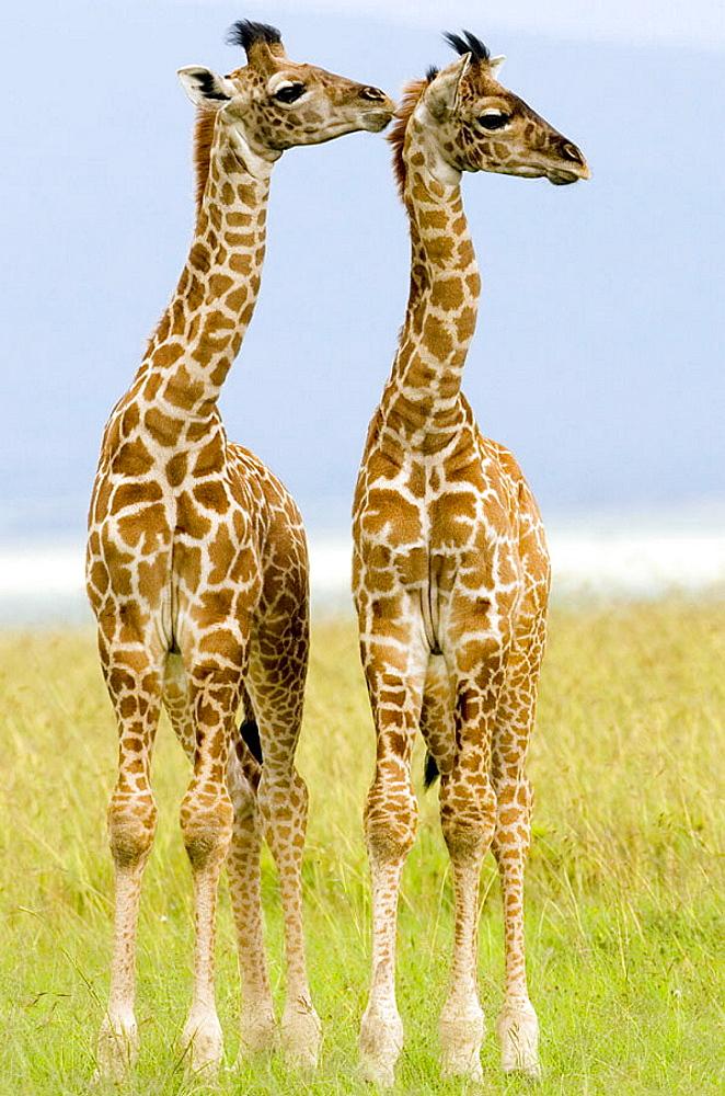 Two newborn Masai Giraffe on the Masai Mara, Kenya - 817-155763