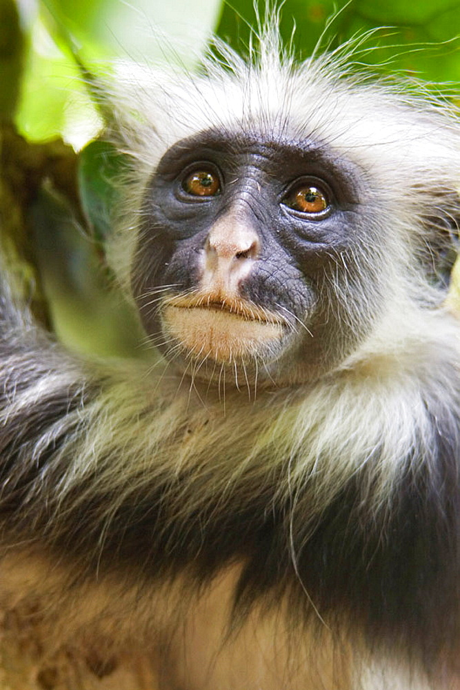 Baby Red Colobus Monkey in the tress of Jojanzi forest, Zanzibar, Tanzania