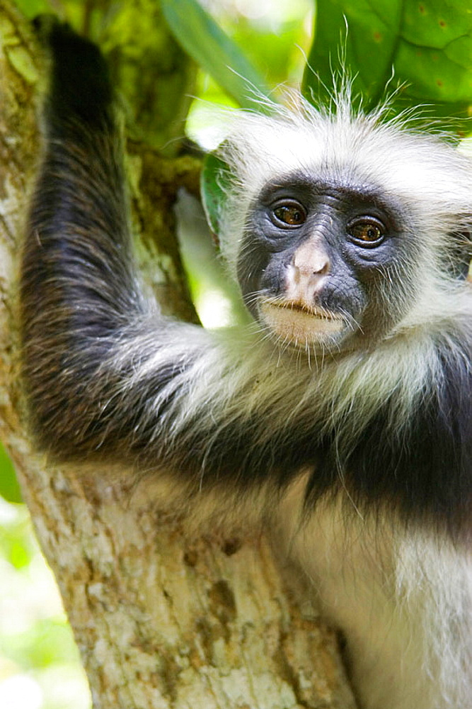 Red Colobus Monkey in the tress of Jojanzi forest, Zanzibar