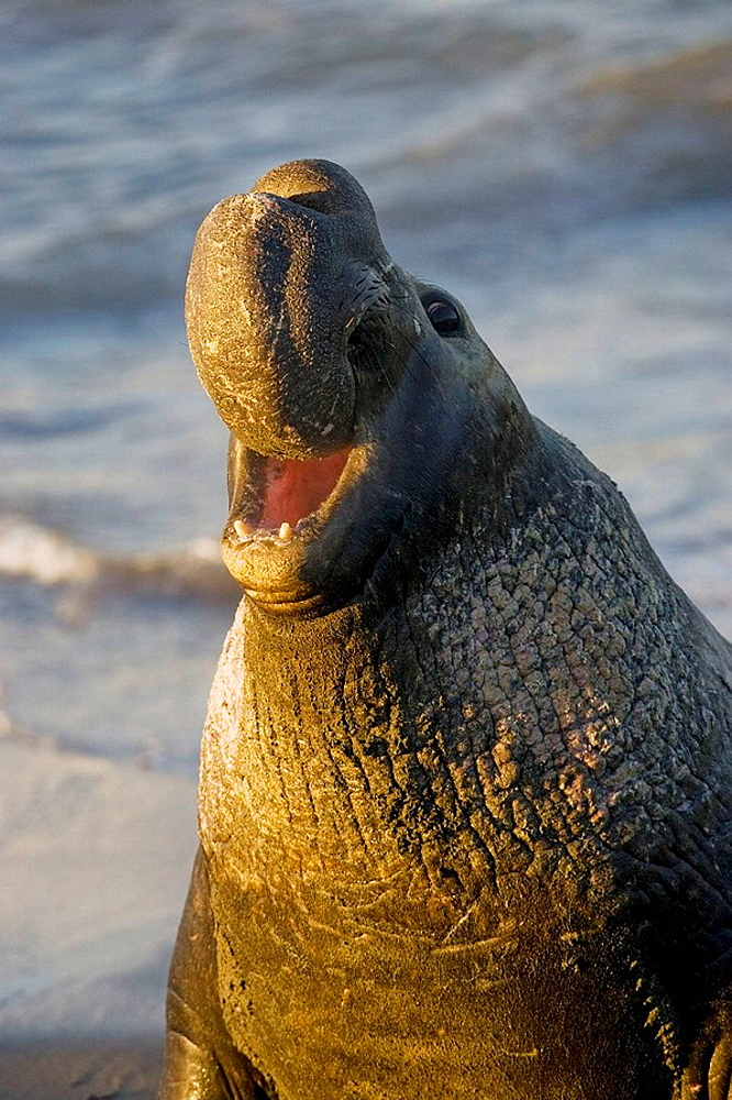 Bull Elephant Seal bellows for dominance on San Simeon beach, California, USA