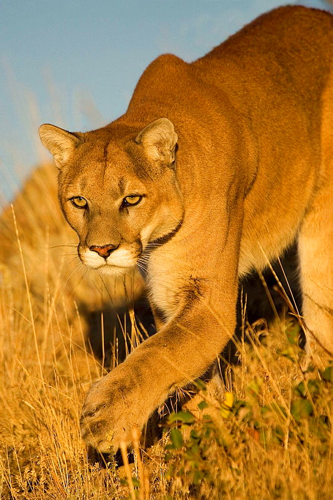 Cougar approaches through the long grass