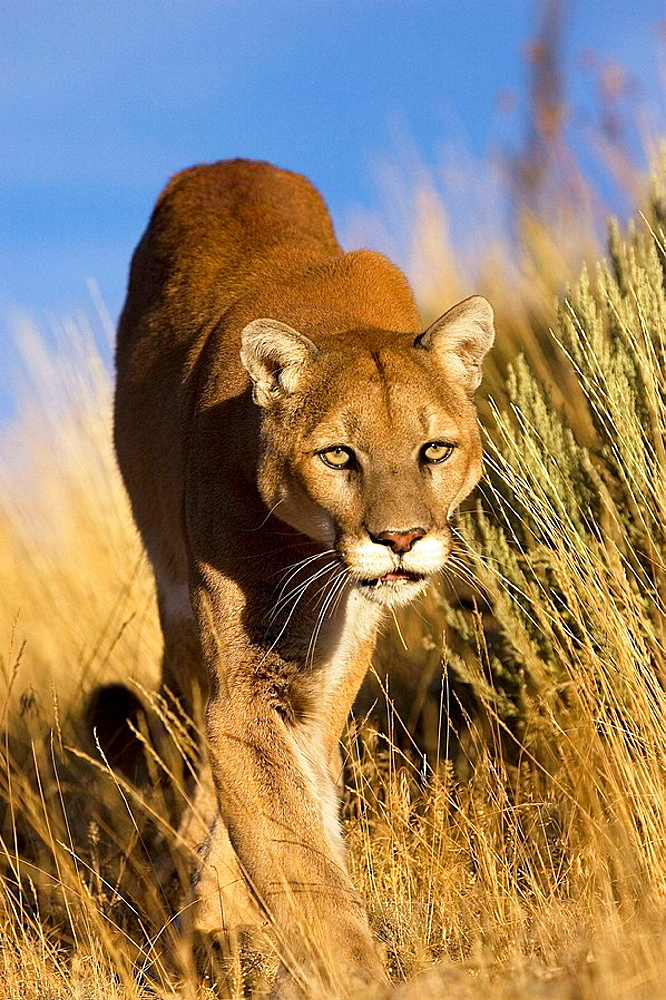 Mountain Lion stalks through the long grass