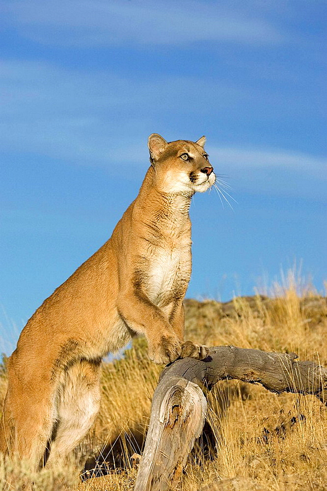 Mountain Lion spots something above