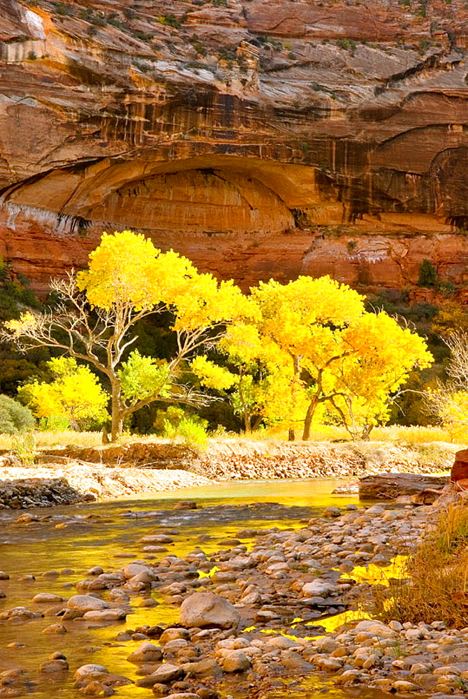 Autumn foliage of Cottonwood trees set ablaze by the morning sun in Zion Canyon, Zion National Park, Utah, USA