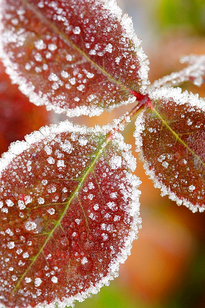 Frost covered leaves close up, England,UK - 817-160605