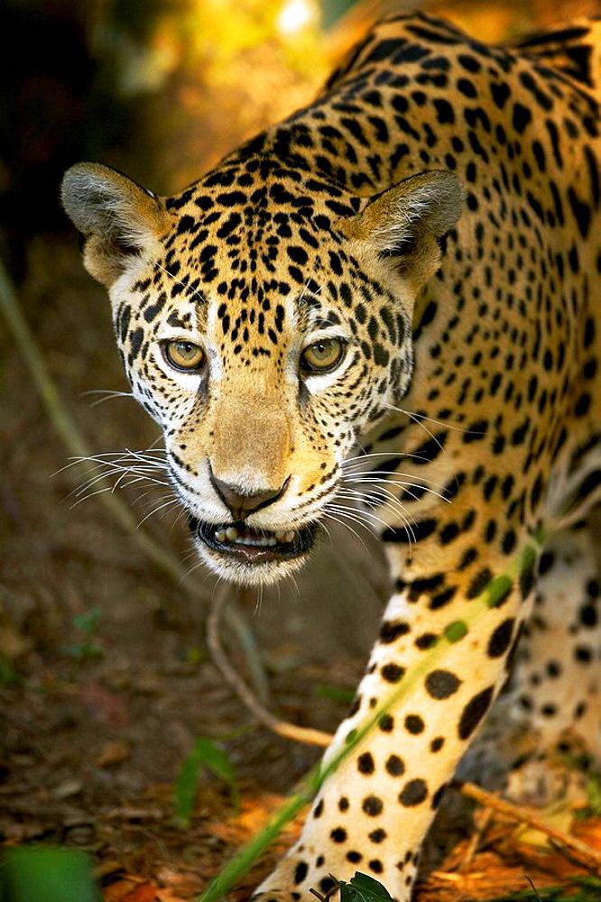 Jaguar Panthera onca, Belize