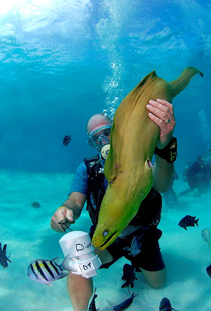 Male diving instructor feeding moray eel, British Virgin Islands - 817-162475