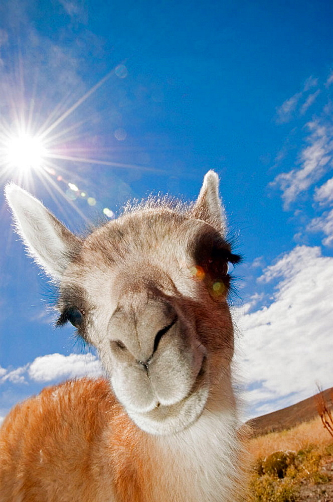 Guanaco (Lama guanicoe), Santa Cruz, Patagonia, Argentina - 817-165823
