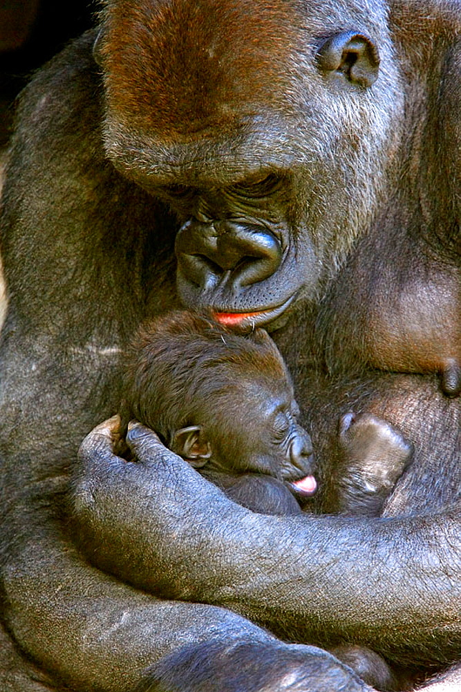 Mountain gorilla (Gorilla gorilla) captive, with baby, Germany - 817-167402