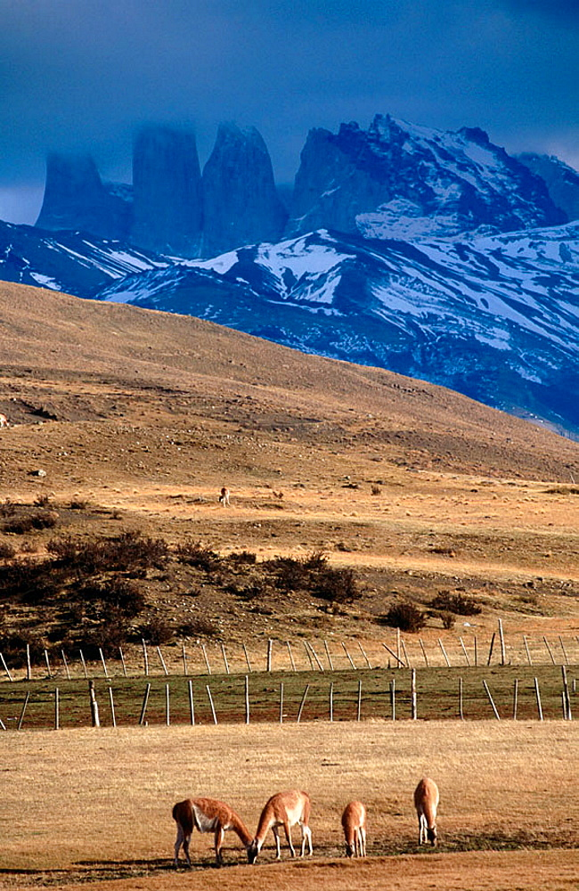 Guanacos (Lama guanicoe), Torres del Paine National Park, Chile.