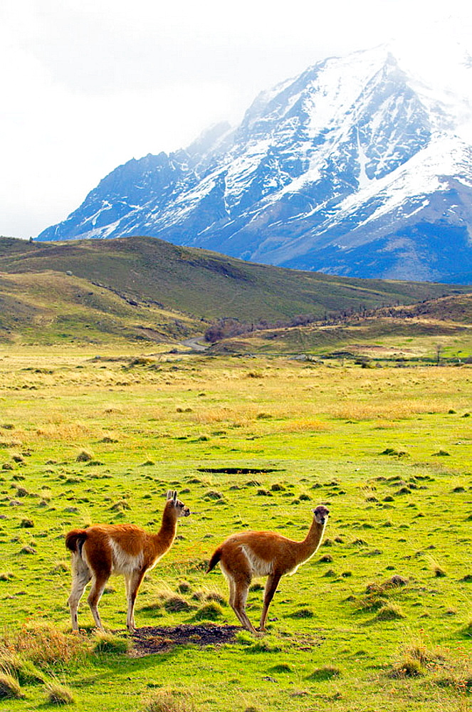 Guanaco (Lama guanicoe), Torres del Paine NP, Patagonia, Chile
