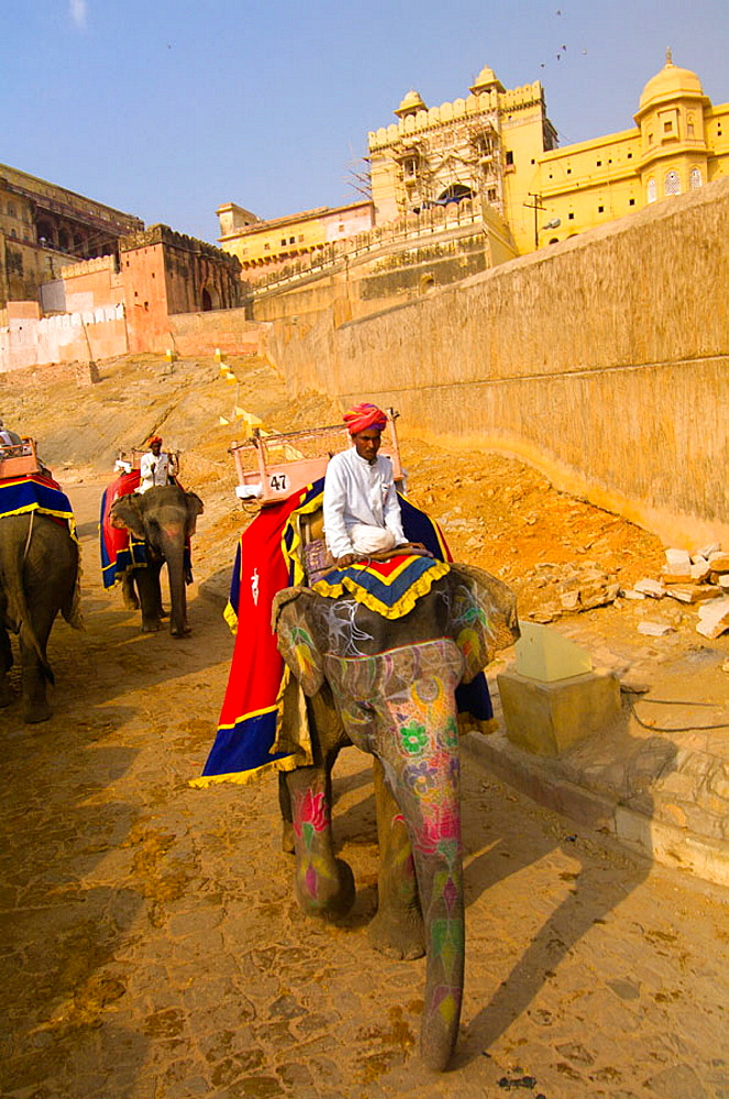 Elephants with mahouts coming down hill from the Amber Fort, Amber (near Jaipur), Rajasthan, India
