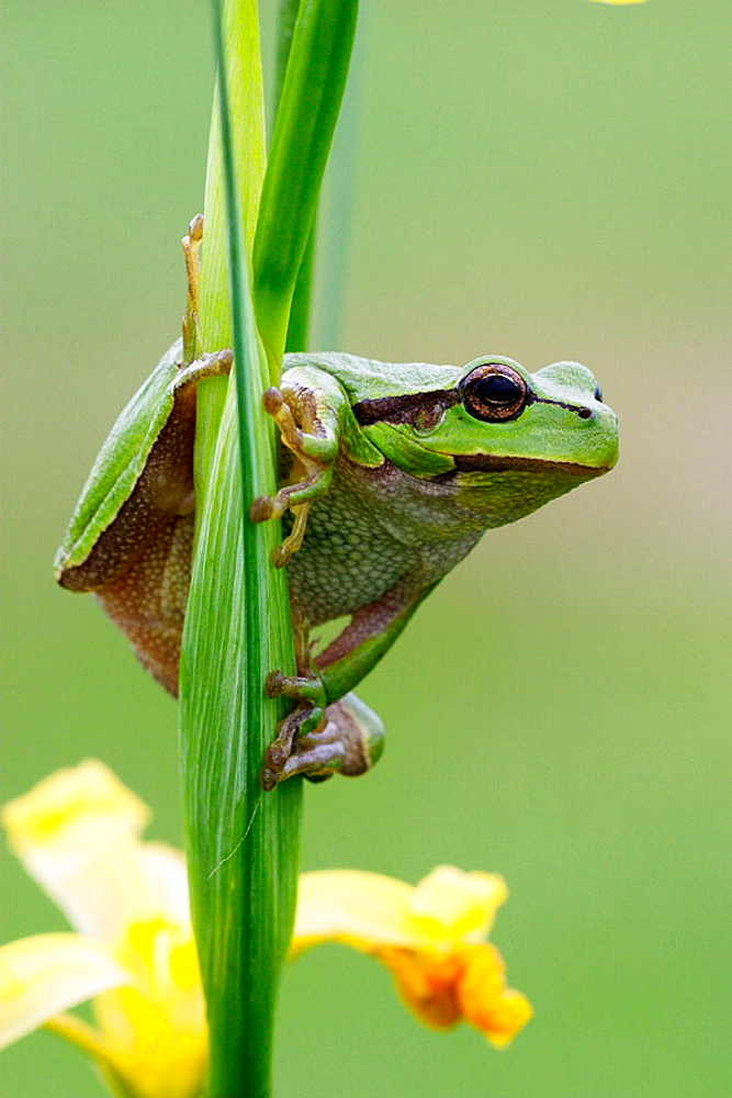 Common Tree Frog (Hyla arborea) on Yellow Flag Iris (Iris pseudacorus) - 817-174180