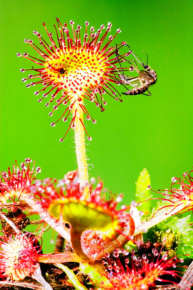 A mosquito is caught of the dew_covered leaves of an insectivorous plant _ Roundleaved Sundew (Drosera rotundifolia)The sundew supplements its mineral intake by trapping insects on its sticky leaves