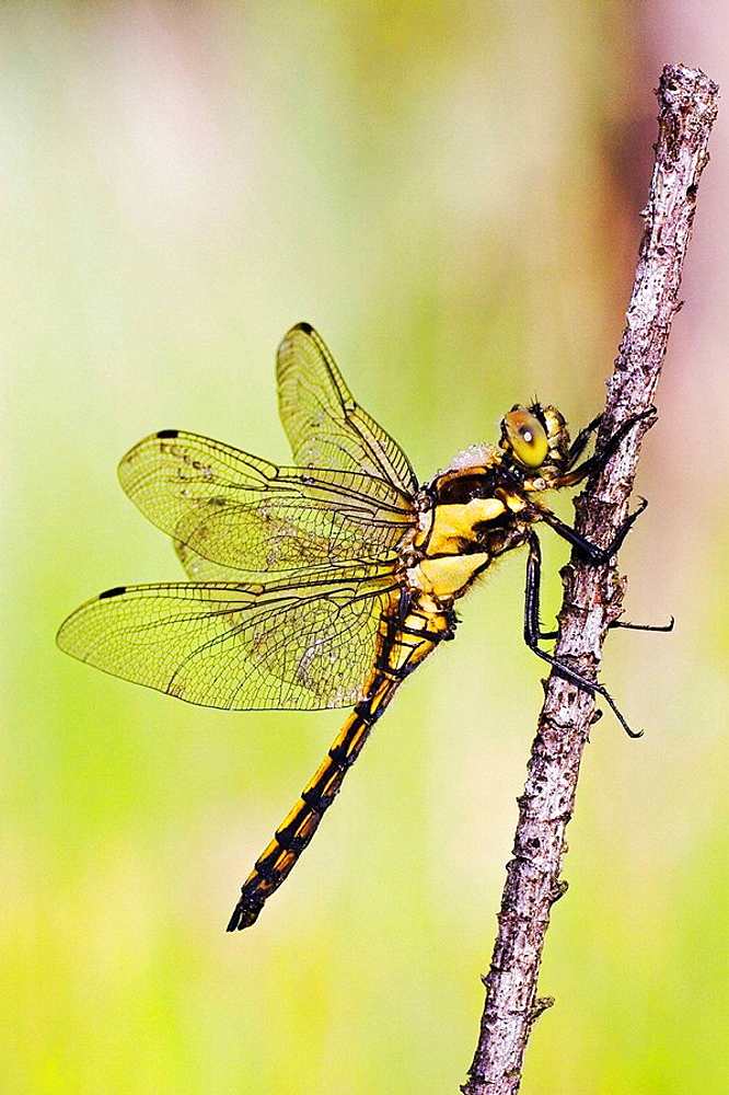 Black-tailed Skimmer (Orthetrum cancellatum) in moor at dew - Bavaria/Germany