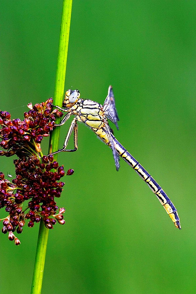 Profile of Slender Club-tailed Dragonfly (Gomphus pulchellus) at rush in marshland, Bavaria, Germany