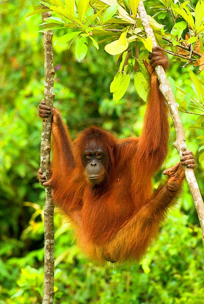 Orang-Utan (Pongo pygmaeus), female  hanging between two slim trunks, rainforest, Borneo, Kalimantan, Indonesia