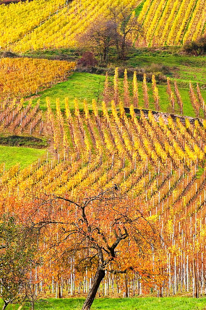 Vineyard and orchard, cultivated landscape, colours of autumn, Munster valley, Alsace, France