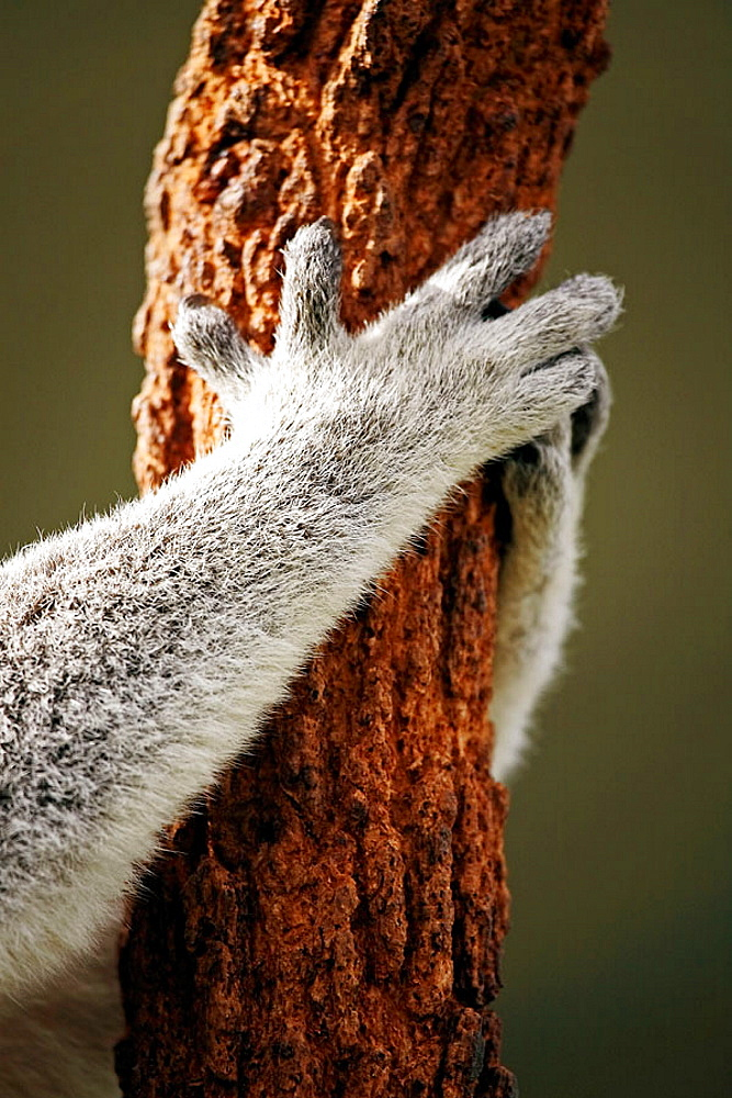 Hands and arms of a koala bear gripping a eucalyptus tree at Sydney Wildlife World, Darling Harbour, Sydney, New South Wales, Australia