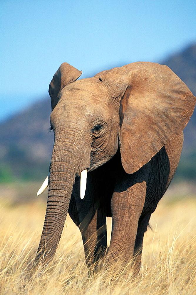 Young African Elephant in the grassland of Samburu in Kenia