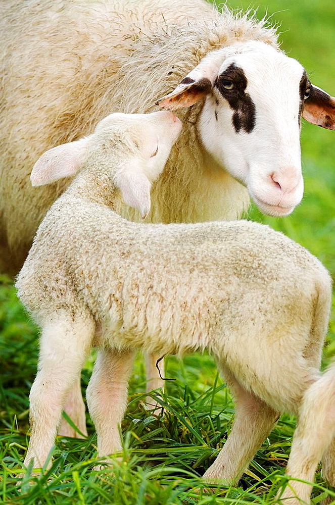 A lamb in sozial contact with the mother