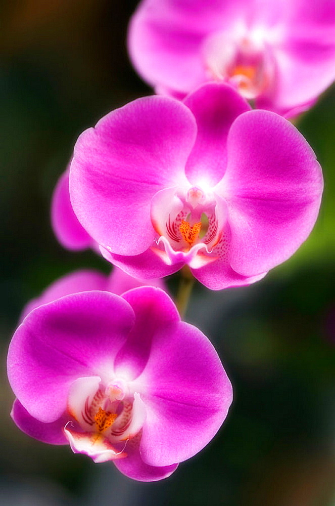 Pink Phalaenopsis Orchid in Bloom, Maryland, USA