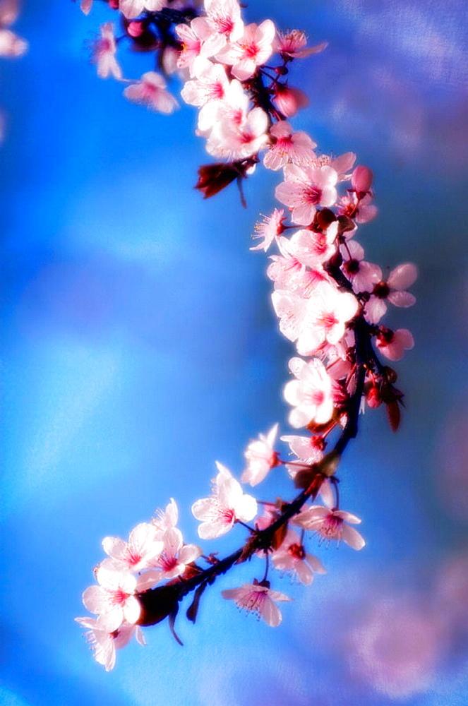 Cherry Blossom, Prunus serrulata, March 2007, Maryland, USA