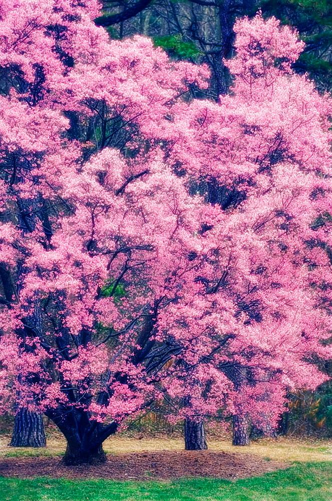 Cherry Blossom, Prunus serrulata, March 2006, Maryland, USA