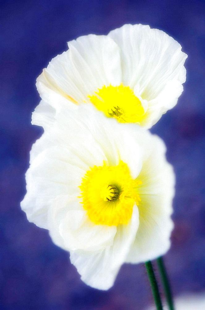 Two White Icelandic Poppies, Papaver nudicaule, March 2007, South Carolina, USA
