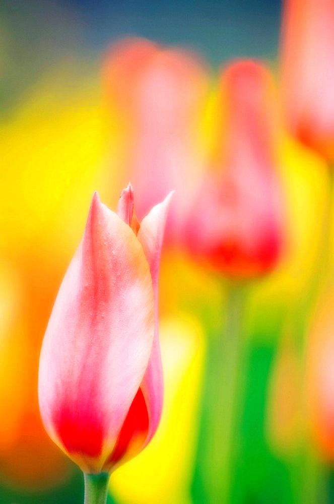 Tulips, Tulipa hybrid, April 2007, Maryland, USA