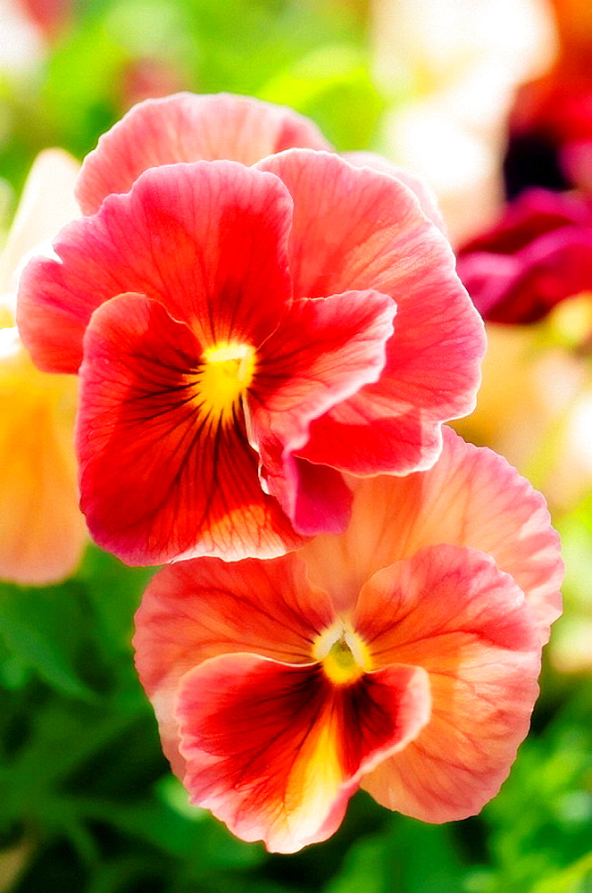 High quality stock photos of viola x wittrockiana coral pink pansy flower duet viola x wittrockiana mightylinksfo Choice Image