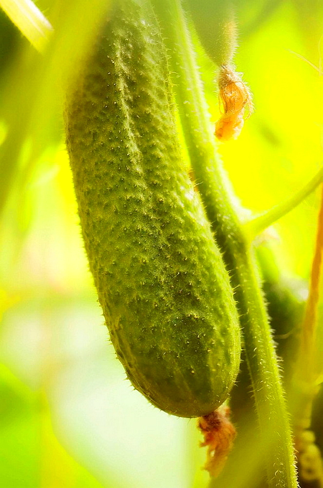 Cucumbers Cool Breeze Growing on a Vine, Cucumis sativus