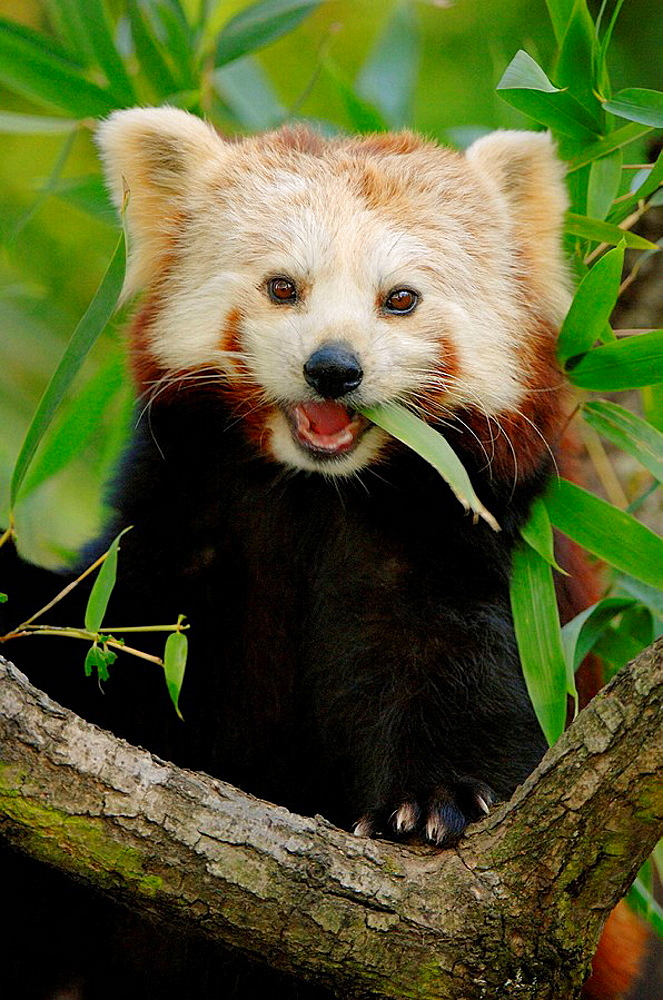 Portrait of red panda (Ailurus fulgens) feeding on bamboo leaves, captive, red list of endangered species - 817-184123