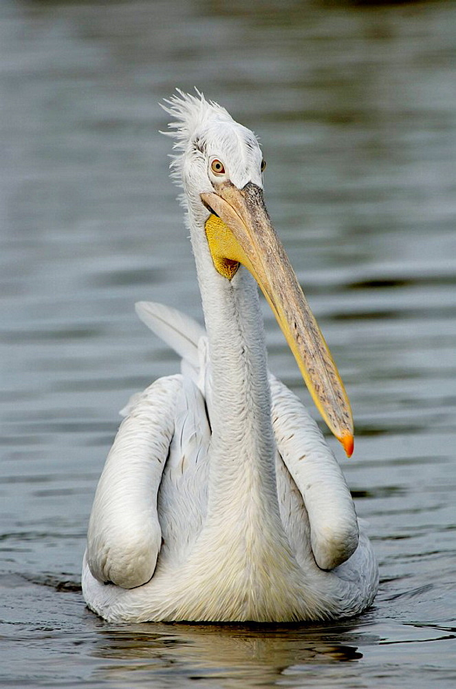 Dalmatian pelican (Pelecanus crispus) red list of endangered species