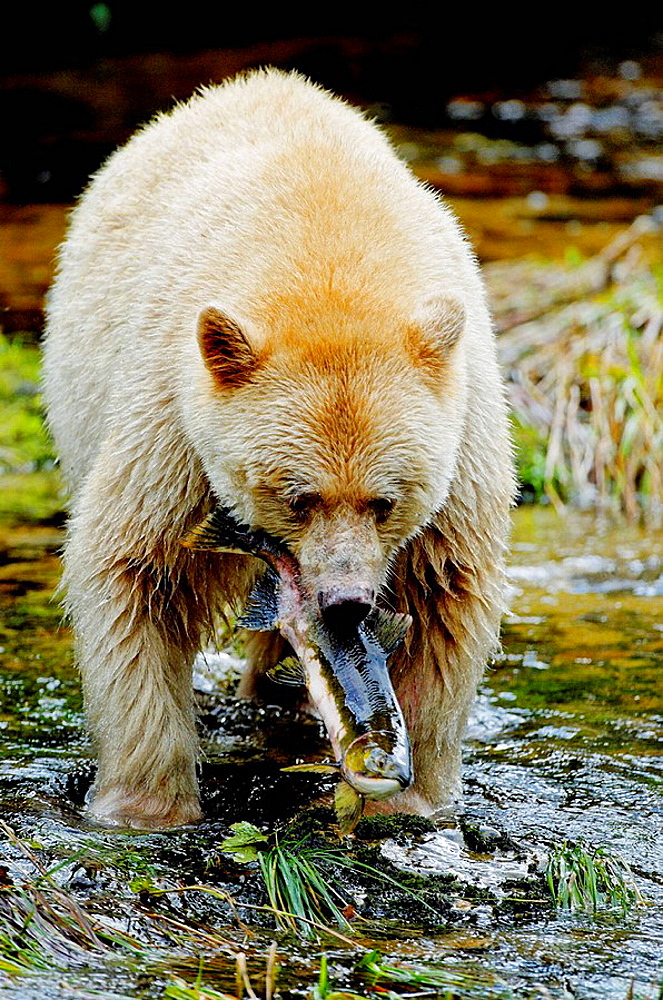 Spirit bear (Ursus americanus Kermodei) fishing salmon, Princess Royal Island, British Columbia, Canada, This bear is a rare subspecie of the american black bear (Ursus americanus) bearing a white creamy fur.