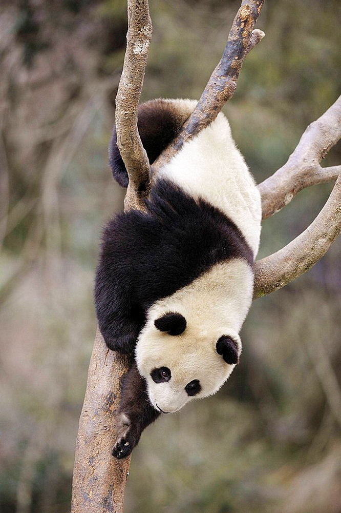 Subadult giant panda climbing in a tree (Ailuropoda melanoleuca) Wolong Nature Reserve, China - 817-184203