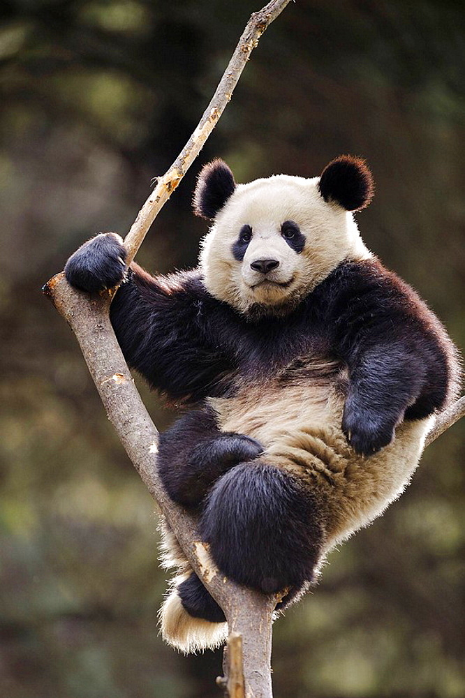 Subadult giant panda climbing in a tree (Ailuropoda melanoleuca) Wolong Nature Reserve, China - 817-184217