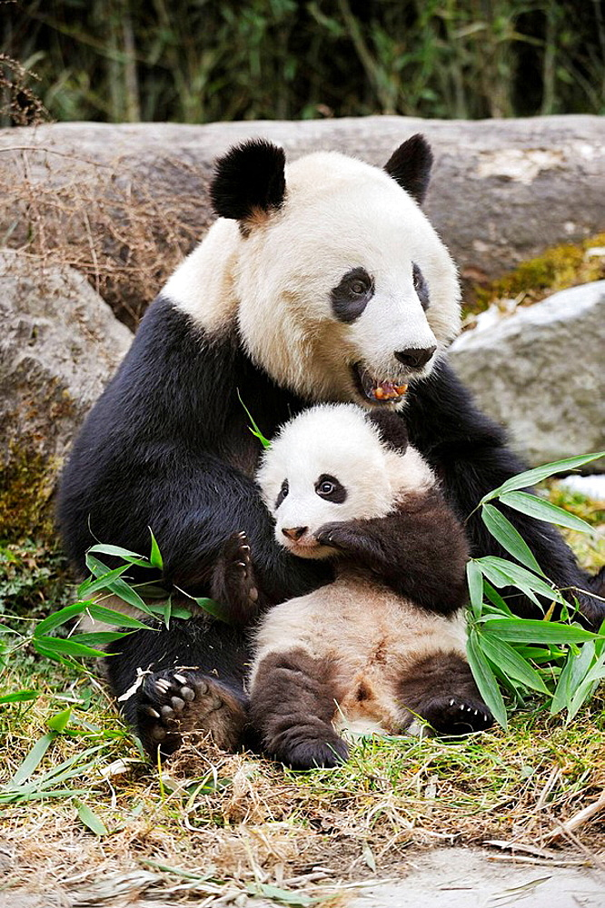 Giant panda mother and baby (Ailuropoda melanoleuca) Wolong Nature Reserve, China